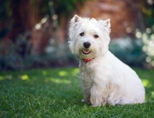 Terrier blanco de West Highland