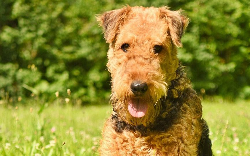 Terriers Airedale: Lo que es bueno de ellos, lo que es malo de ellos