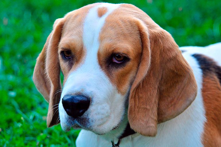 Beagle: Características y Comportamiento