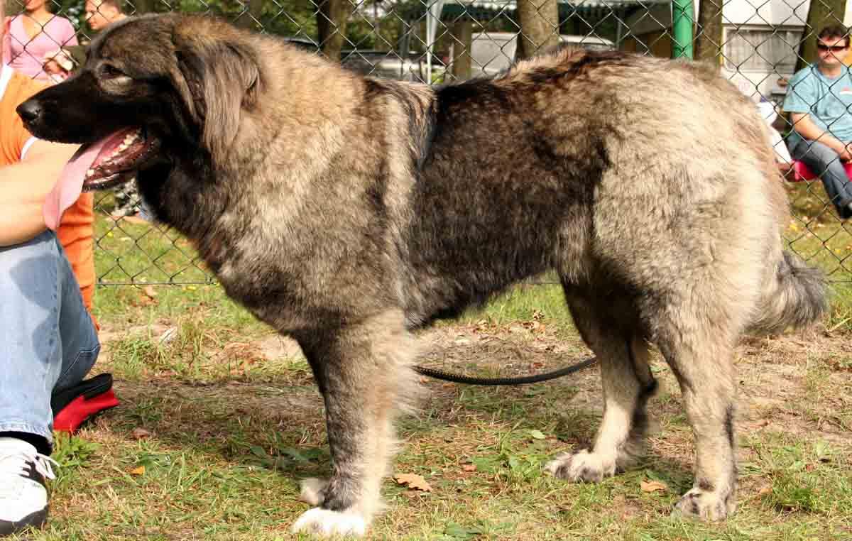 Perro pastor del Cáucaso: Características y Comportamiento